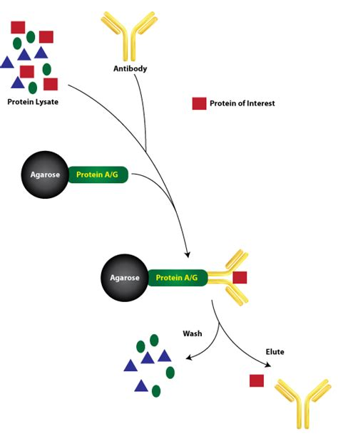 sepharose immunoprecipitation immunoprecipitations ip for protein purification