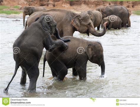 Elephant Matting by Mating Elephants Stock Photo Image 22912660