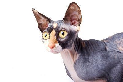 What Cats Do Not Shed by What Cats Do Not Shed Hair Pets
