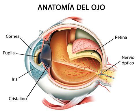 imagenes de ojos humanos y sus partes cmo funciona el ojo
