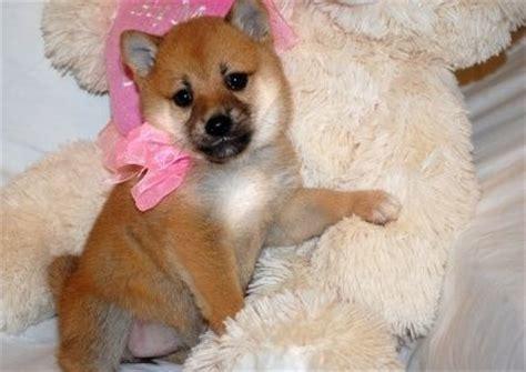 shiba inu puppies adoption adorable shiba inu puppies for sale adoption from dublin dublin adpost