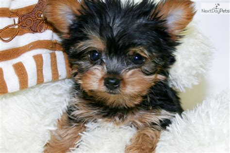 teacup puppies for sale in ohio 200 terrier yorkie puppy for sale near columbus ohio 0897edb2 05b1