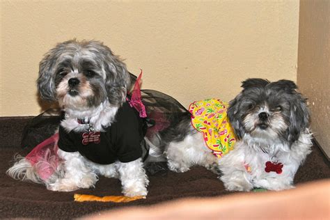 shih tzu clothes and accessories shih tzu day 36 dress up day same shih tzu different day