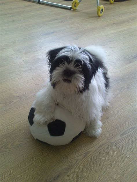 shih tzu 9 months months for sale 250 posted 8 minutes ago for sale dogs shih tzu quotes