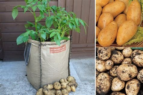 Potato Planterbag how to grow potatoes in planter bags or sacks eco snippets