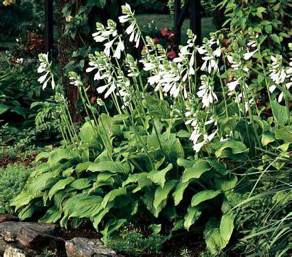 hosta royal standard white flower farm