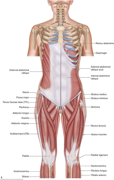 back muscles health pe10 human movement cs sss guides at