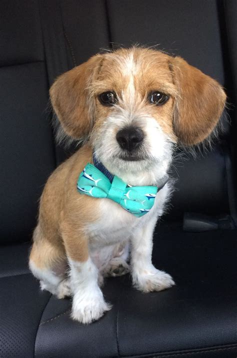 shih tzu beagle mix puppies beagle shih tzu mix pictures beagle shih tzu mix puppy breeds picture
