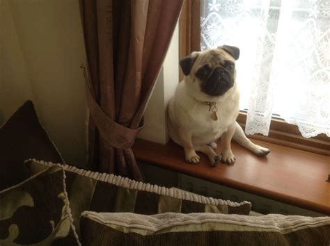 pugs for sale in northtonshire pug for sale wellingborough northtonshire pets4homes