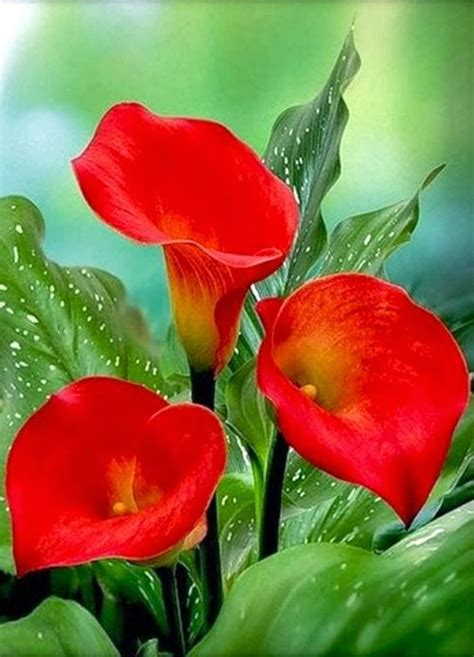 calla lilly pots i love calla lillies but they are so 204 best images about calla lillies on pinterest calla