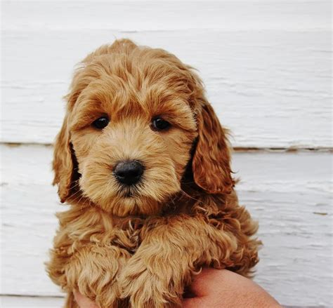 mini doodle best 25 goldendoodle ideas on golden doodles