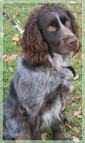 Yahoo Ca Search 1000 Images About Deutscher Wachtelhund Germany On Spaniels Spaniel