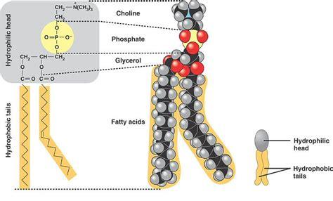 diagram of phospholipid phospholipid bilayer finding god in the nerdiest way