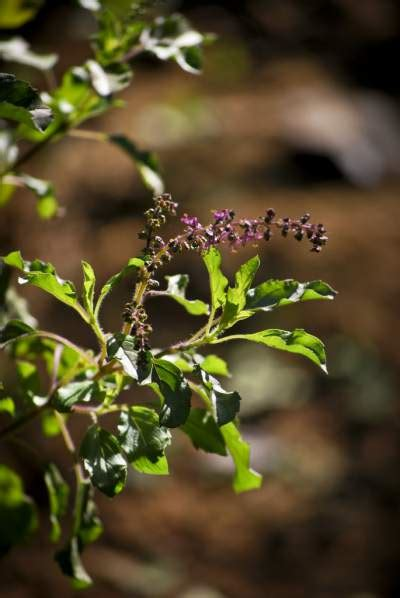 Tulsi Basil To Cure Skin Problems by 7 Tulsi Pack Recipes Skin Disease Remedies