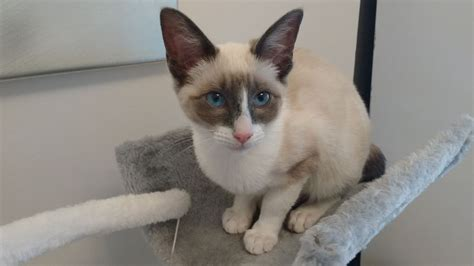 ragdoll 5 months 5 month f beautiful ragdoll cross margate