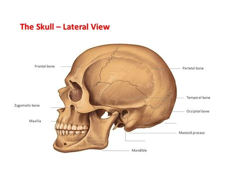 6 Auditory Bones by The Skeletal System Labelling The Bones Ppt Video