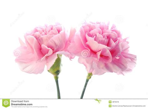 complementary of pink pink carnation stock photo image of macro botanic dead