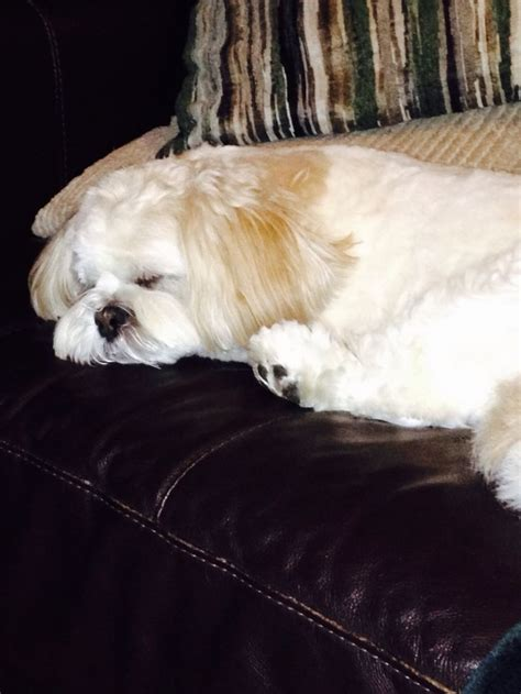 shih tzu won t sleep at 160 best she s a lhasa not a shih tzu images on lhasa apso animals and