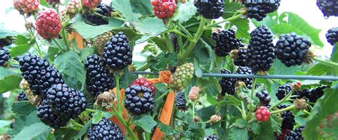 top 28 what can i make with fresh blackberries blackberry cobbler or what to do during an