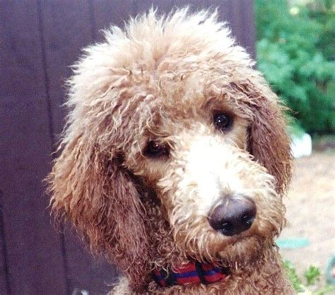 standard poodle face hair cuts 1000 images about isovillojen villat on pinterest