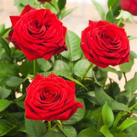 imagenes de rosas rojas frescas rosas rojas quot red naomi quot