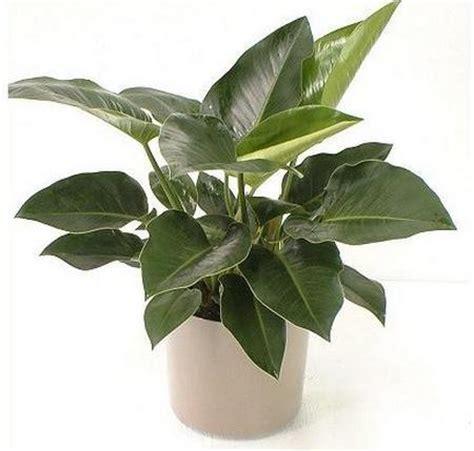 Tanaman Hias Daun Philodendron Keris Variegata jenis jenis tanaman hias untuk taman daunbuah