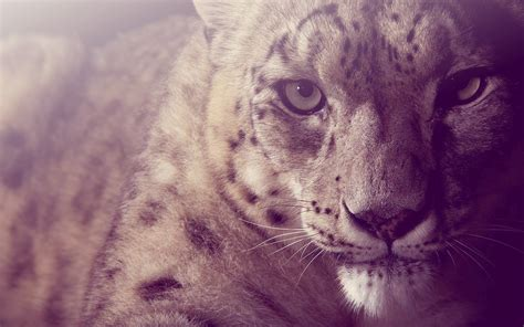 wallpaper mac leopard hd snow leopard wallpaper hd 8269 amazing wallpaperz