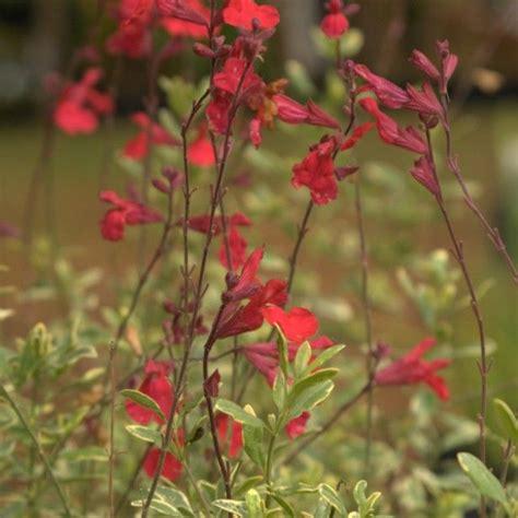 Arbuste A Fleur 762 by Les 25 Meilleures Id 233 Es De La Cat 233 Gorie Sauge Arbustive