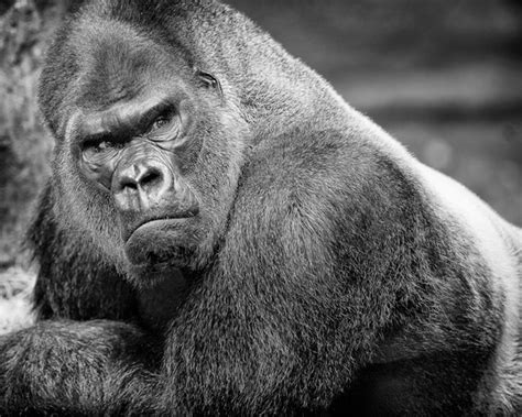 silverback gorilla bench press ultimate silverback vs pitbull thread gtfih pics