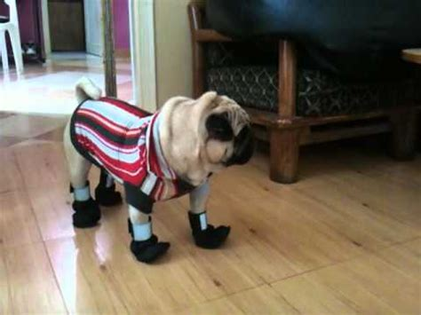 pug in booties romy pug with shoes