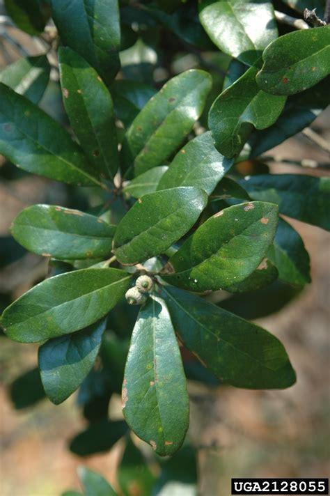 oak quercus virginiana fagales fagaceae