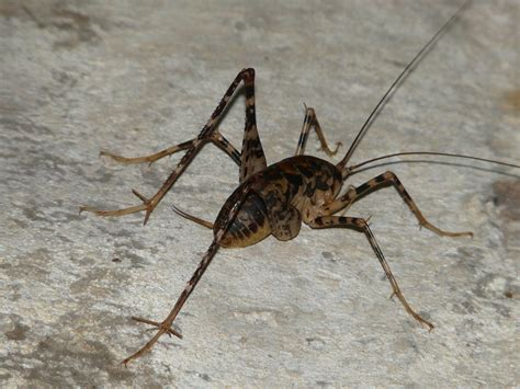 how do i get rid of cave crickets in my basement home
