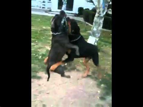 american pitbull vs rottweiler american bully vs rottweiler
