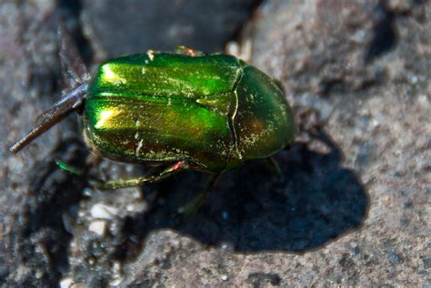 june beetle control how to get rid of june bugs