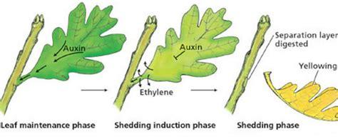 Hormon Auxin marijuana plant hormones i growing marijuana