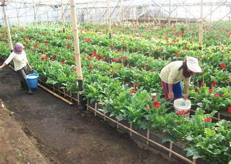 tahap  menanam  merawat bunga gerbera