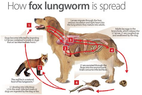 lungworm in dogs lungworm in ontario dogs worms germs