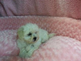 shih tzu puppies for sale gold coast for sale maltese x shih tzu puppies
