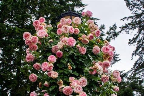 cura roselline in vaso da siepe siepi giardinaggio cura delle da siepe