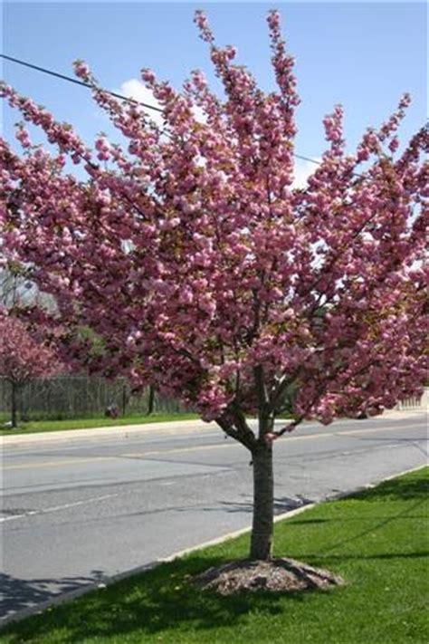 japanese flowering cherry prunus x yedoensis