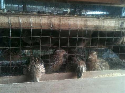 Jual Bibit Bebek Surabaya jual puyuh goreng surabaya jual bibit dan indukan burung