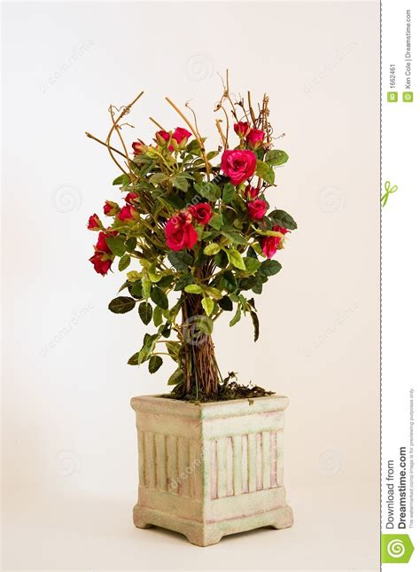 miniature red roses   pot stock image image