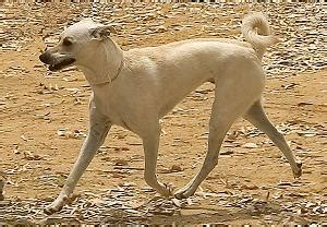 What medium sized dogs have curly tails dog breeds picture