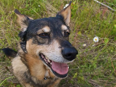 coy dogs what is a coydog breeds picture