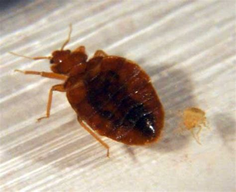 brooklyn bed bugs exterminator nyc brooklyn ny 11201