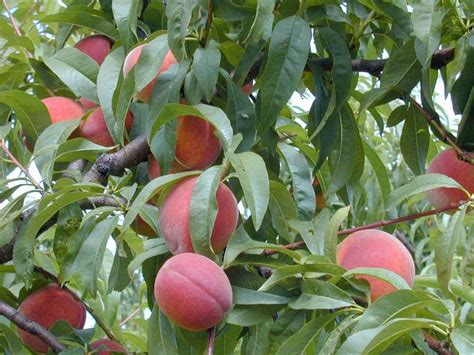 fruit tree supplies tree nursery thenurseries