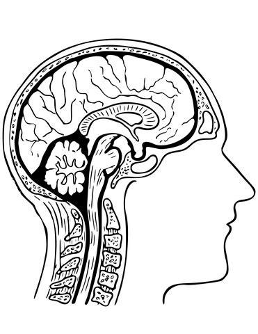 Human Brain Coloring Page Free Printable Coloring Pages Brain Coloring Pages To Print