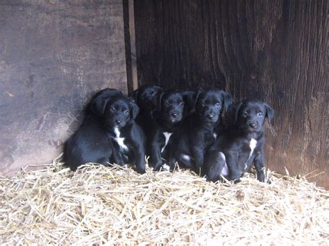 border collie lab mix puppies for sale labrador cross border collie puppies for sale lancashire pets4homes