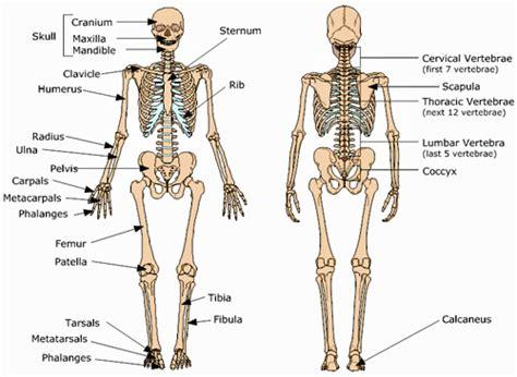 skeleton anatomy your skeletal system baseline of health