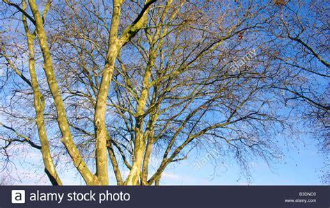 Platane Baum Kaufen 941 platane baum kaufen platane kaufen ahornbl ttrige platane